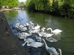 Лебеди-на-Темзе