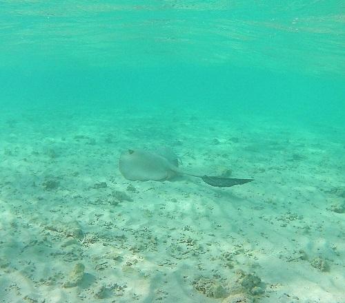 скат-хвостокол на домашнем рифе Embudu Village, Мальдивы